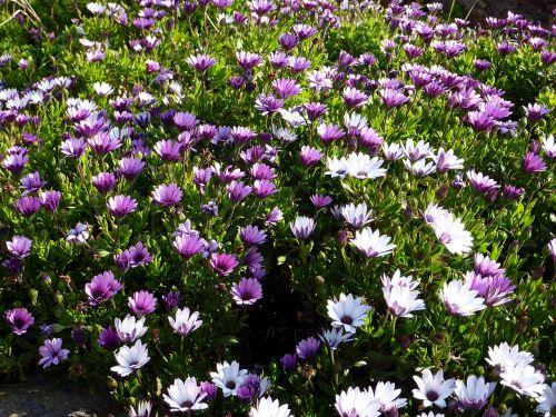 gamta,gėlė,violetinė,osteospermas,masyvas