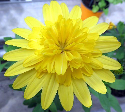 gamta,gėlė,geltona,osteospermas