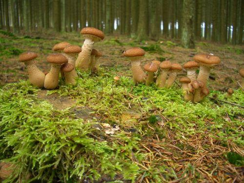 gamta,grybai,miškas,miško grybai,augalas,sezonai,miško paklotė,miško augalas,valgyti,samanos,nemokamai,surinkti,žalias,sezonas,ruda
