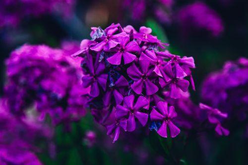 gamta,dėmesio,sodas,gėlė,violetinė,pavasaris,vasara,purpurinė gėlė,vasaros gėlės,žiedas,purpurinė abstrakcija,žiedlapis,lauke,žydėti,šviežias,kraštovaizdis,pieva