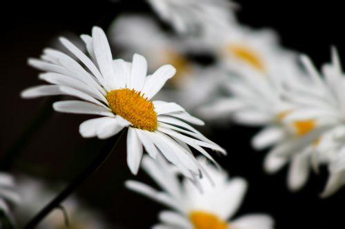 gamta,ramunė,juoda,balta,geltona,vasaros gėlės,gėlės,gėlė,žiedlapis,baltos gėlės,Iš arti,vasara,geltonas centras,žydėti,lauko gėlės,baltos dainos,saulėta diena,žiedlapiai,Daisy,diena,vasaros diena,lakštas