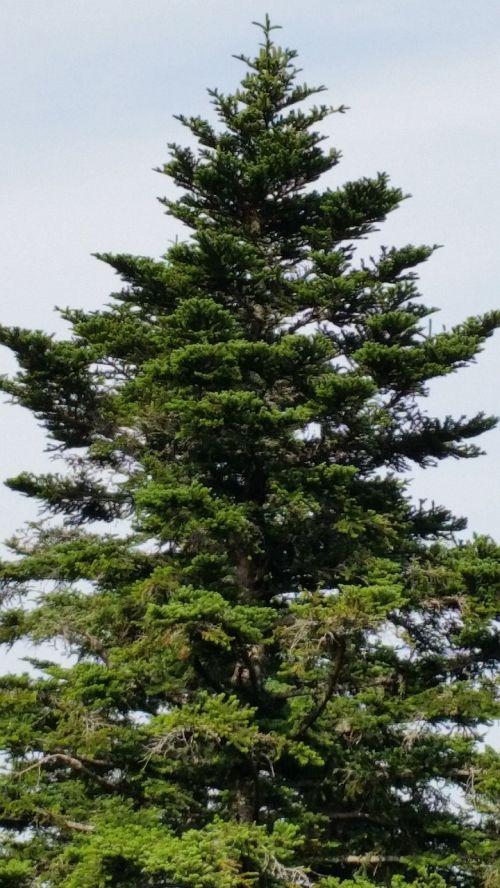 gamta,medis,eglė,kraštovaizdis,Juodasis miškas,trejetas