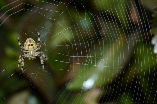 gamtos fotografija,makrofotografija,makro,gamta,fotografija,natūralus,voras,lauke,voratinklis,vabzdys,laukinė gamta,laukiniai,tapetai,voras atgal,artimiausios fotografijos,makro pobūdis,laukinės gyvybės fotografija,krishnendu pramanick,būti įkvepiančiuoju,skleisti įkvėpimą,gamtos gyvenimas,artimosios prigimties,Spiderweb fotografija,voras užpakalinėje dalyje,laukinis voras su voratinkliu,mažas voras,mažasis voras atgal