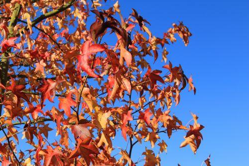 adatų lapų klevas,klevas,raudona,lapai,spalvinga,klevo lapai,lapuočių medis,ruduo,gamta
