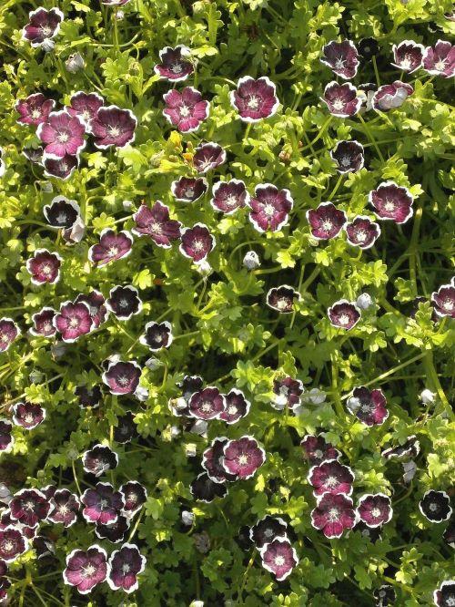 nemofila,juodoji penny,pavasario gėlės,juodos gėlės