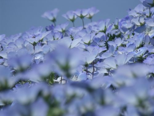 nemofila,gėlės,ankstyvos vasaros gėlės