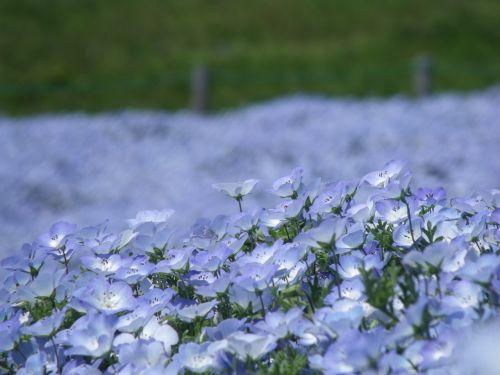 nemofila,parkas,prefektūra Ibaraki,mėlynas,gėlės,augalas