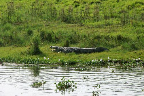 krokodilas,Nepalas,chitwan,Nacionalinis parkas
