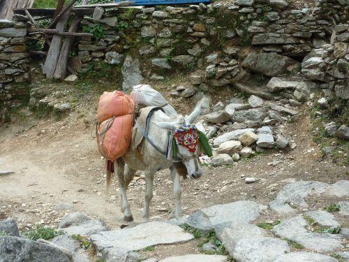 Nepalas,Himalajus,Annapurna,asilas,ūkis,žinduolis,vidaus,lauke,ūkio gyvūnai,kaimas,gyvuliai,ranča,Naminiai gyvūnai,žemės ūkio paskirties žemė