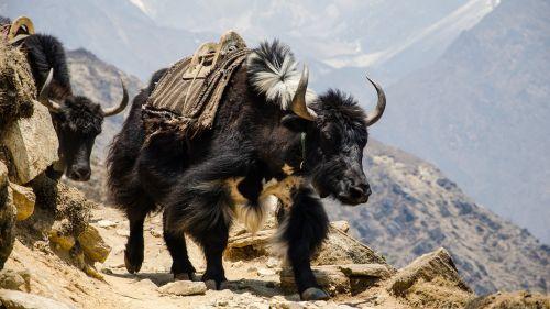 Nepalas,Himalajus,Padorus