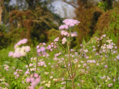 Nepalas,gėlė,Nacionalinis parkas,chitwan
