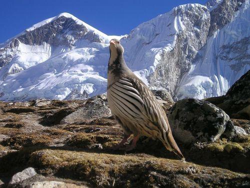 Nepalas,Himalajus,paukštis,dykuma