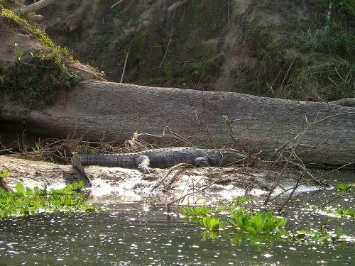 Nepalas,aligatorius,chitwan,Nacionalinis parkas,plėšrūnas,dykuma
