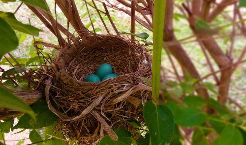 lizdas,robin,kiaušiniai,Paukščių lizdas,apynių lizdas,mėlynas,šakelės,šiaudai,filialas,paukštis,gamta,laukinė gamta,gyvenimas,natūralus