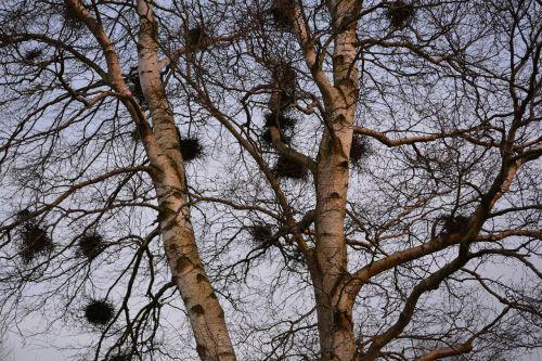 lizdai,medis,beržas,paukščių lizdai