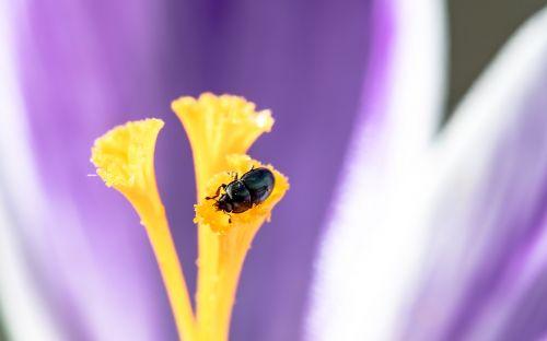 dilgėlių vabalas,žolės vabalas,brachypterus urticae,vabalas,mažas vabalas,Crocus žydėjimo stiebas,sėdi,nektaras,švelninti,vabzdys