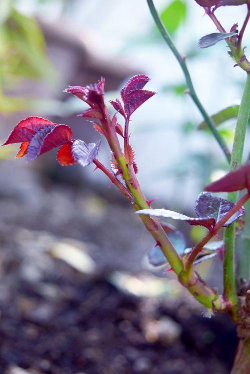 augalas, lapai, augimas, rožė, raudona, naujas augimas 2