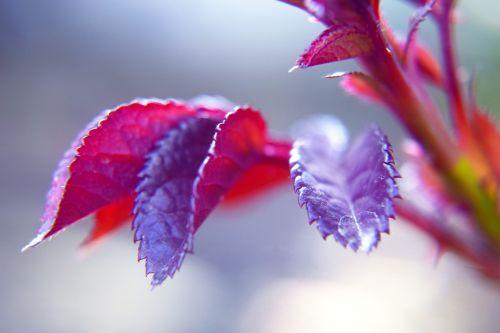 augalas, lapai, augimas, rožė, raudona, naujas augimas 3