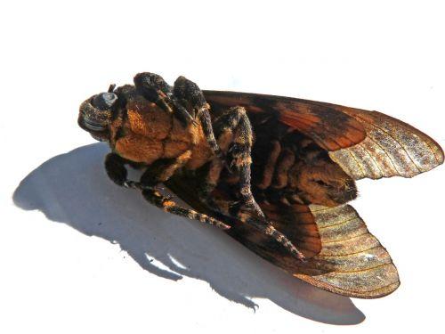 naktinis drugelis,išsamiai,Acherontia atropos,kaukolės sfinksas,sfinksas mirties