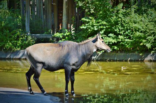 nilgun antilopė,antilopė,antilopė buck,atrajotojas,zoologijos sodas,gyvūnas,tierpark hellabrunn,tiergarten