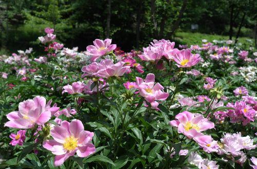 Noel internetinė dovanų parduotuvė, gėlės, gamta, augalai, sodas, vasara, pavasaris, rožinis, peonijos, pikonija, hee, kuno meno muziejus, be honoraro mokesčio