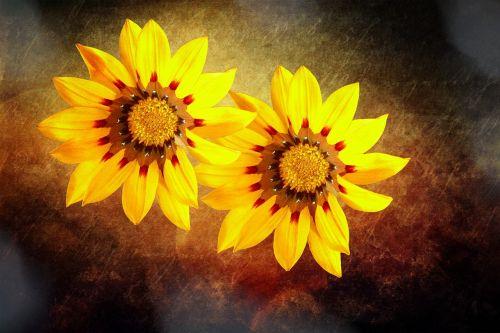 vidurnakčio aukso gėlė,gėlė,žiedas,žydėti,geltona,aukso vidurdienis,dažymas
