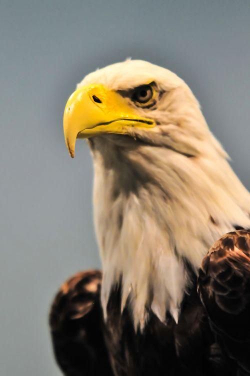 amerikietis, amerikietis, gyvūnas, nuplikęs, snapas, grožis, paukštis, juoda, erelis, emblema, nykstantis, išraiška, akis, falcon, Salkūnai, plunksna, galva, atrodo, didingas, nacionalinis, Tautybė, gamta, kilnus, Šiaurė, patriotas, portretas, šiaurės amerikietis plikis erelis