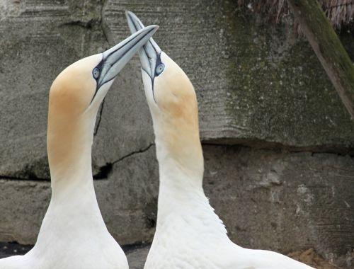 šiaurinė gannet,krūvos,sąskaitą,Uždaryti