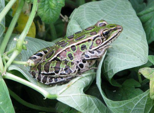 šiaurinė leopardo varlė,litobitai pipiens,rana pipiens,pusiau vario morfas,laboratorijos varlė,medicininė varlė,masalas varlė,paprastoji vejos varlė,sodo varlė,Moneymore,Ontarijas,Kanada