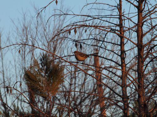 šiaurinis, Strazdas giesmininkas, mockingbirds, paukščiai, šiaurinis mockingbird
