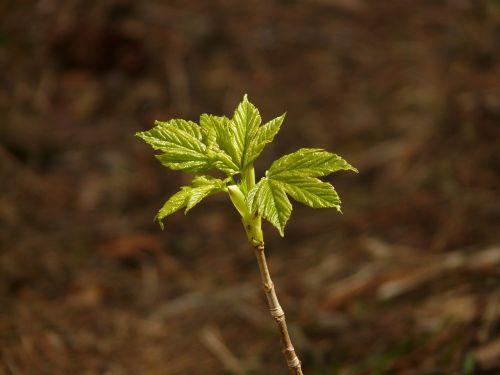 Norvegijos klevas,klevas,acer platanoids,adatų lapų klevas,aceraceae,dygsta,pirmieji lapai,žalias,medis,jaunas,augalas,lapai,pavasaris,miškas,lapų pumpurai