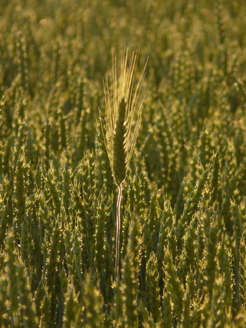 maistingi miežiai,ausis,maistingi miežiai kviečių lauke,rugių laukas,kviečių smaigalys,grūdai,grūdai,ariamasis,Žemdirbystė,derlius,maistas,sėkla