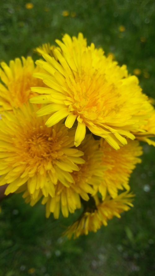 vienuolės,kiaulpienės,kiaulpienė,geltona,gėlės,gamta