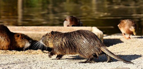 Nutria,vandens žiurkės,vanduo,purslų,gyvūnų pasaulis,gyvūnas,gamta,kailis,graužikas,laukinių parkų girtavimas,vandenys,graužikų rūšys