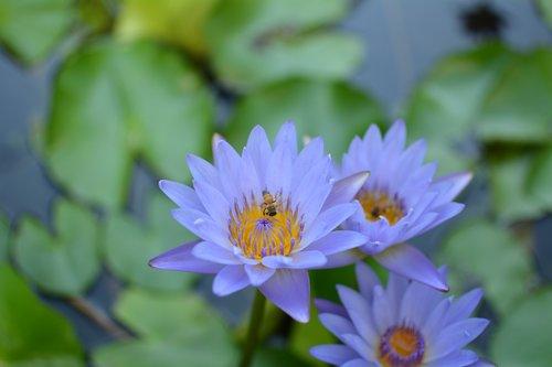 Nymphaea alba, Lotus tvenkinys, Purple Lotus,潔 grynasis, žydėjimas