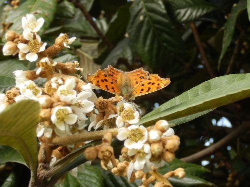 nymphalidae,Kitateha,drugelis,loquat,gėlės