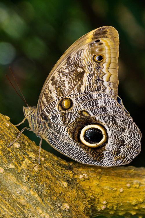nymphalidae,edelfalter,pelėdos drugelis