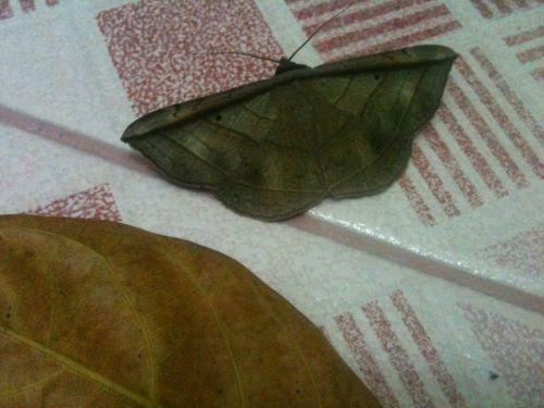 drugeliai, nymphalidae, rohana parisatis