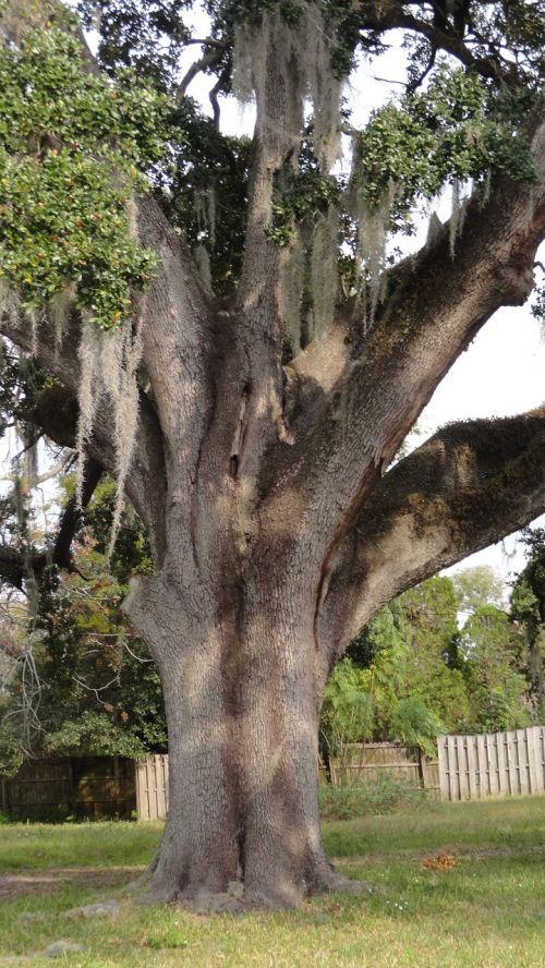 ąžuolas, medis, galūnės, gamta, filialas, kraštovaizdis