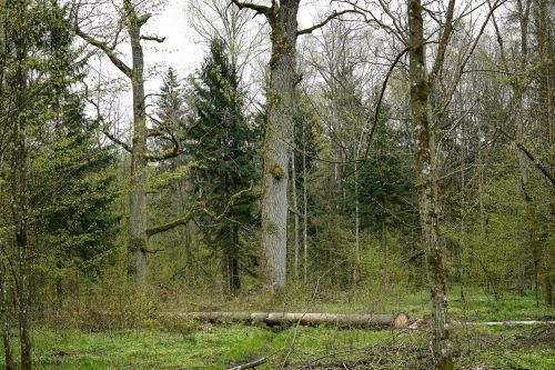 ąžuolai,ąžuolo,senas medis,gamtos rezervatas,bagažinė,iškirsti medį,gabaliukas,sodininkystė,belovezhskaya pushcha,Lenkija,pavasaris,gamta,kraštovaizdis
