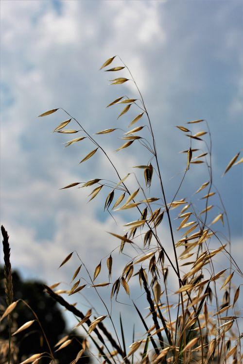 avižos,Žemdirbystė,grūdai,grūdai,naminių gyvūnėlių maistas,ariamasis,kukurūzų laukas,derlius,laukas,vėliava avižos,avižų laukas,makro,Uždaryti,avižos,maistas,valgyti,pagrindinis maistas,levandų laukas,gamta,muesli