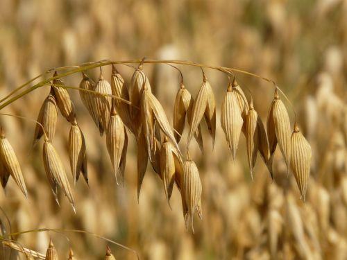 avižos,avižų laukas,ariamasis,grūdai,grūdai,kukurūzų laukas,Žemdirbystė,derlius,naminių gyvūnėlių maistas,vėliava avižos,avena,laukas,makro,Uždaryti