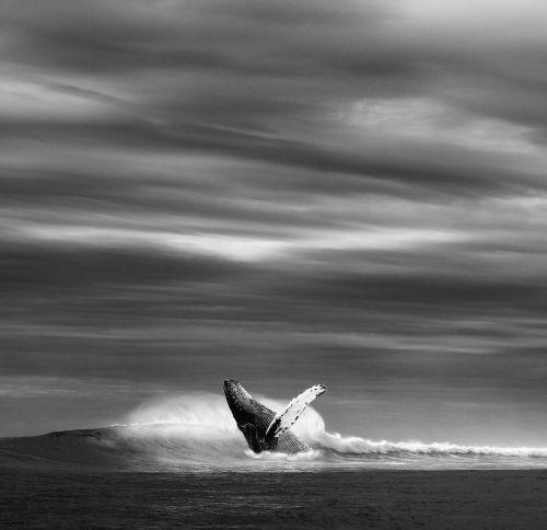 vandenynas,jūra,banga,banginis,Mėlynasis banginis,laukinis juodas ir baltas,n b,nuotrauka,dangus padengti