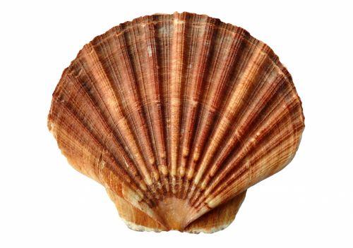 clam, lukštas, moliuskas & nbsp, lukštas, jūra & nbsp, korpusas, jūra, vandenynas, padaras, gyvūnai, gamta, vanduo, okeano gluosnio lukštas