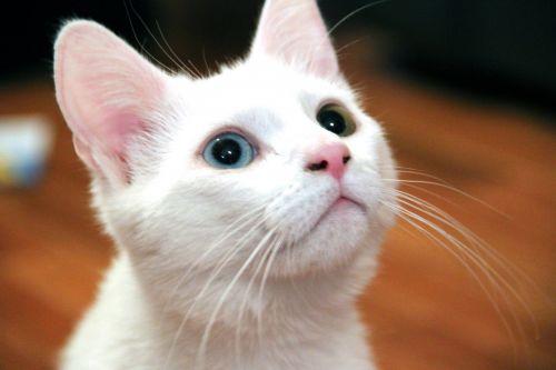 žavinga, katė, kačiukas, gyvūnas, fonas, gražus, keistą akį, keistai akimis, mėlynas, žalias, naminis gyvūnėlis, kačiukas, kačių, balta, keista akimis kačiukas