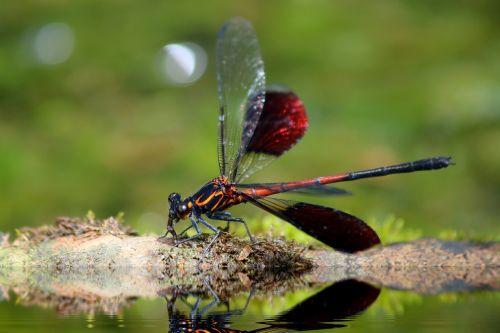 odonata,euphaeidae,euphaea formosa hagen