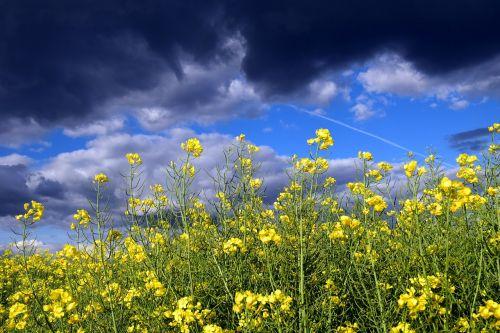 aliejiniai rapsai,Uždaryti,žiedas,žydėti,gamta,geltona,pavasaris,rapsų sėklos,laukas,augalas,Žemdirbystė,rapsų žiedas,retas augalas,kraštovaizdis,pasėlių,šviesus,vasara,pavasario pieva,geltonos gėlės,Gegužė,dangus,griauna,grasinanti,grasinantys debesys,grasinanti griaustinio perviršio,debesuotumas,pavasario griaustiniai,tamsūs debesys,debesys horizonte