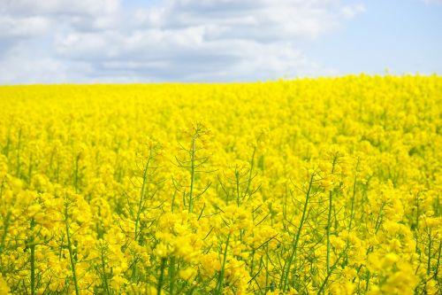 aliejiniai rapsai,rapsų sėklos,blütenmeer,geltona,gėlės,augalas,gamta,kraštovaizdis,vasara,rapsų žiedas,pavasaris,gėlių sritis,rapsų žiedai,rapsų augalai,Žemdirbystė,pasėliai,brassica napus,pakartojimai,lewat,kryžmažiški augalai,brassicaceae