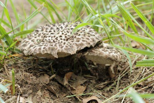 gamta, augalai, grybai, grybai, pilka & nbsp, grybai, juoda ir grybai, Bolete & nbsp, grybai, juodi & nbsp, karpos, senas & nbsp, vyras, & nbsp, miškai, strobilomyces & nbsp, sumišimas, grybų & nbsp, dangteliai, grybai & nbsp, stiebai, grybai, poros, žalia žolė, auga, du grybai, senas vyras miško grybų