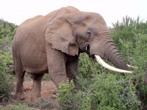 olifant,zuid-afrika,afrika,parkas,laukinė gamta,laukiniai,natuur
